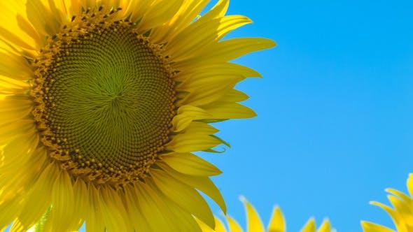 Thumbnail for Sunflower On Blue Sky