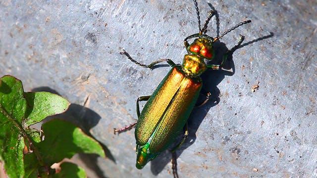 Thumbnail for Golden bug