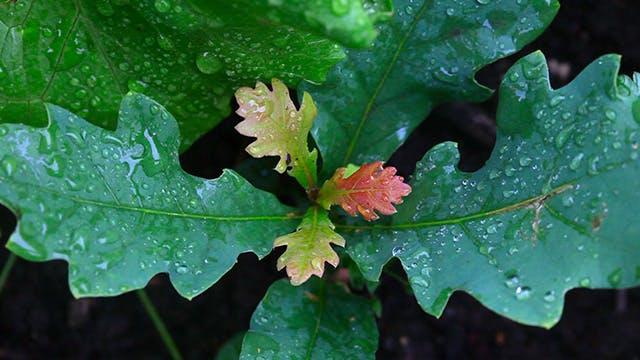 Thumbnail for Oak sapling.