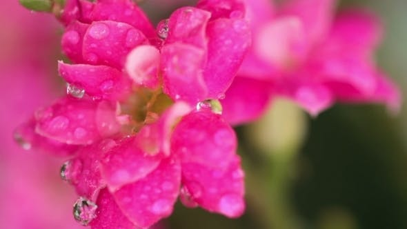 Cover Image for Pink Kalanchoe