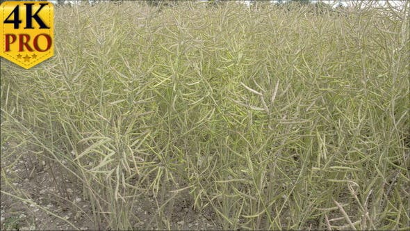 Colza blanc verdâtre sur les champs
