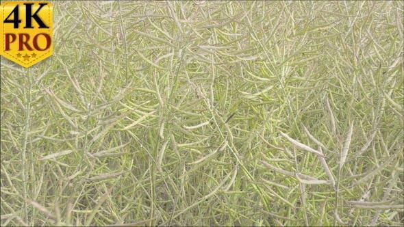Beaucoup de colza ou d'oléagineux sur les champs