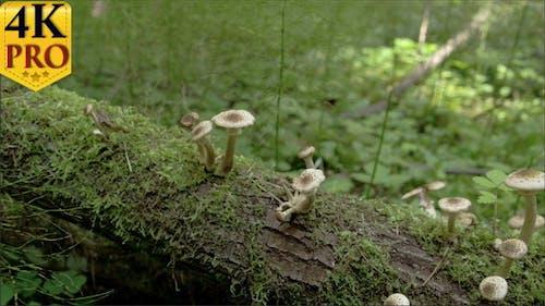 Sprießen weiße Pilze auf dem moosigen Stamm