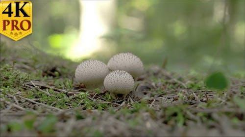 Drei weiße gewarzte Puffball Pilz in der Mitte