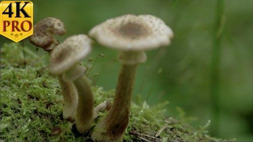 Drei weiße braun-gewarzte Pilze auf dem moosischen
