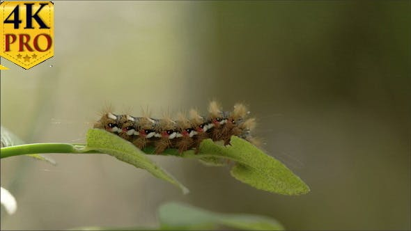 Thumbnail for A Caterpillar or a Moth on the Edge of the Leaf