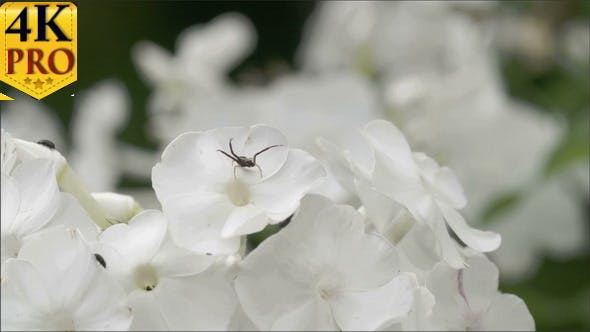 Thumbnail for Lots of White Flowers with the Spider and Insects