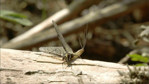 Thumbnail for A Butterfly Lying on the Wood