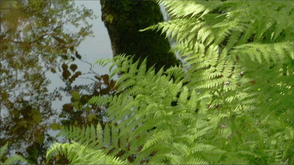 Thumbnail for Green Ferns on the Forest