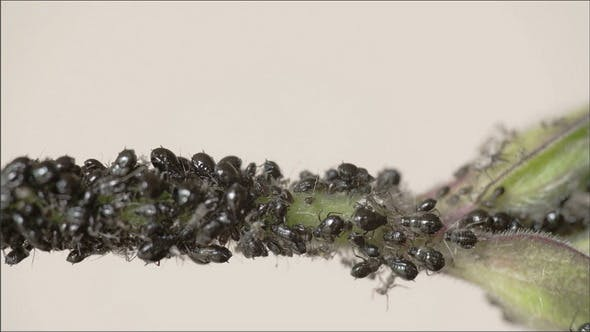 Thumbnail for The Flock of Small Black Aphid on a Stem