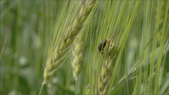 A Fly or Pest Sticking on the Green Barley Plant