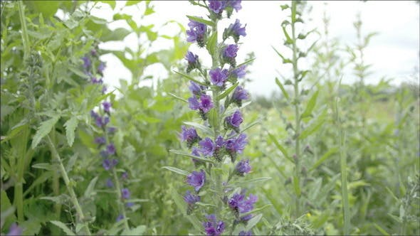 Thumbnail for A Blueweed Plant in a Garden