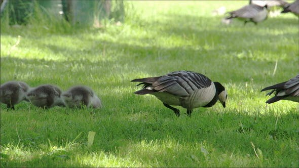 Thumbnail for A Mother Goose and Her Goslings