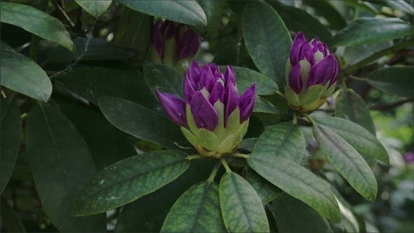 Thumbnail for The view of the Rhododendron Flower