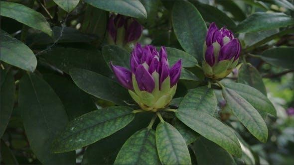 Der Blick auf die Rhododendron Blume
