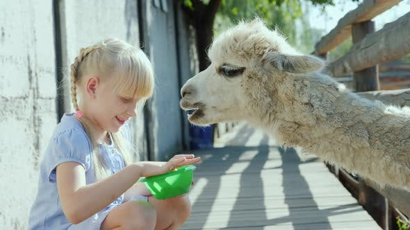 Thumbnail for The Girl Is Feeding a Cool Lama on the Farm. Lama Puffs a Long Neck Into the Fence Slot