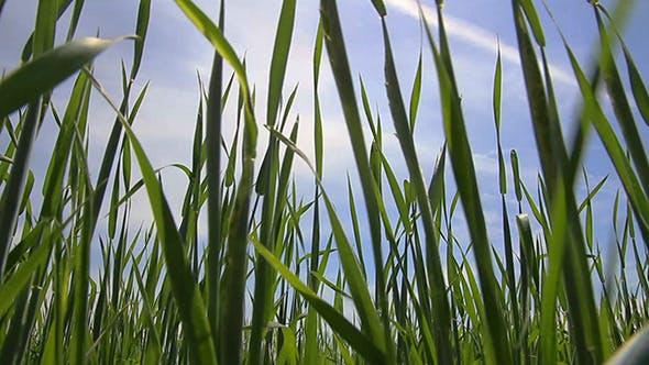 Thumbnail for Green Gras