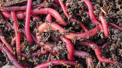 Red Worms In Dirt