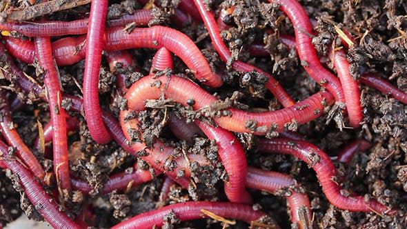 Thumbnail for Red Worms In Dirt