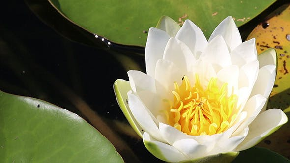 Thumbnail for Water-Lily Flowers And Leaves