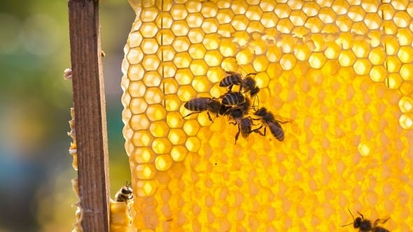 Group Of Honey Bees On Honeycomb