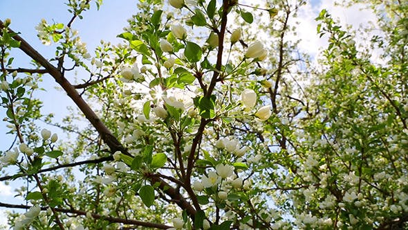Thumbnail for Sun Shining Through Blossom Apple Tree
