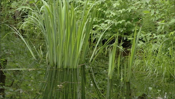 Die gelbe Iris Gras auf dem Sumpf