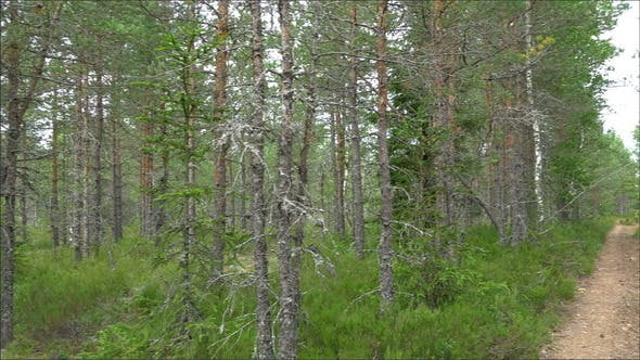 Thumbnail for Trail of Pine Trees in the Forest of Estonia