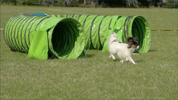 Thumbnail for The Agile Dog Getting Out of the Toy Tunnel