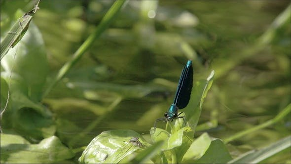 Thumbnail for A Damselfly on Top of the Leaf