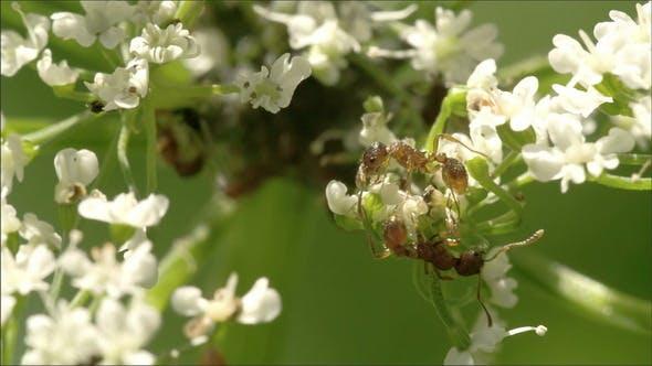 Zwei Blattläuse kriechen auf die Blumen