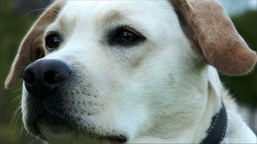 A Cute Labrador Sniffing His Nose