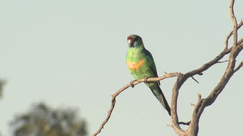 Mallee Ringneck Adult Lone Perched Looking Around in New South Wales