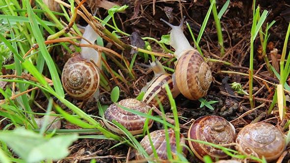 Thumbnail for Snails In Grass