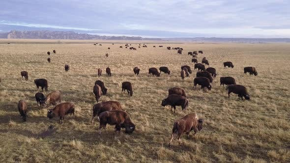 Thumbnail for Bison Adult Immature Herd Many Eating Grazing in Spring