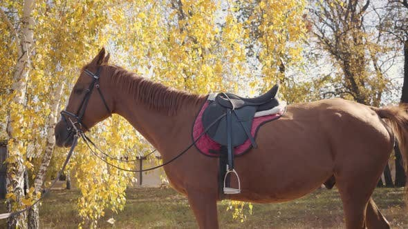 Thumbnail for Graceful Brown Horse with White Facial Markings Eating Yellow Leaves From the Tree. Portrait of a