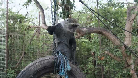 The Big Black Monkey Sitting on a Suspended Tires Inside Zoo Cage Zanzibar