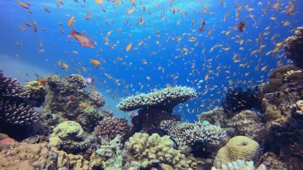 Orangenfisch Korallenriff