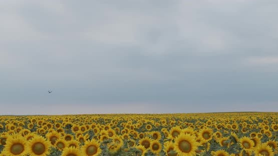 Ripe Sunflower On A Background Of Blue Cloudy Sky