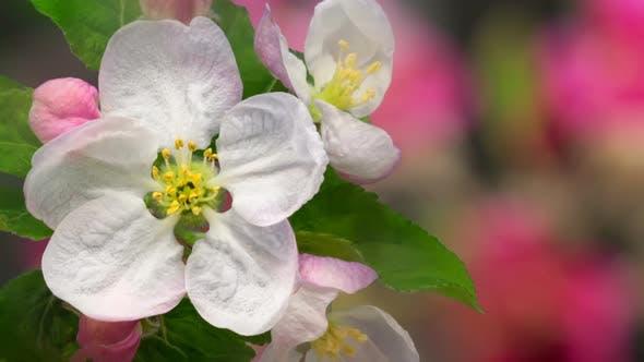 Thumbnail for Apple Blossom Timelapse on Black