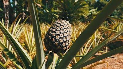 Pineapple Growing on Pineapple Plant