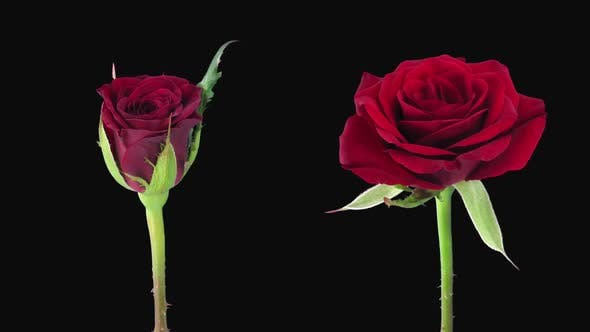 Thumbnail for Time-lapse of opening and dying red Valentino roses