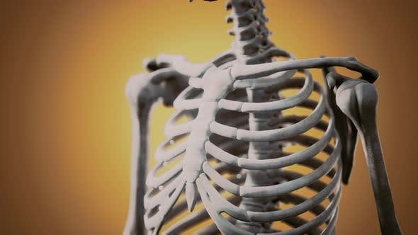 Full Human Skeleton Standing
