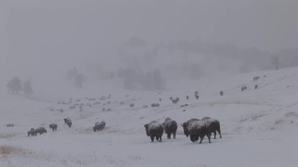 Bison Adult Immature Herd Many Foraging Looking For Food in Winter