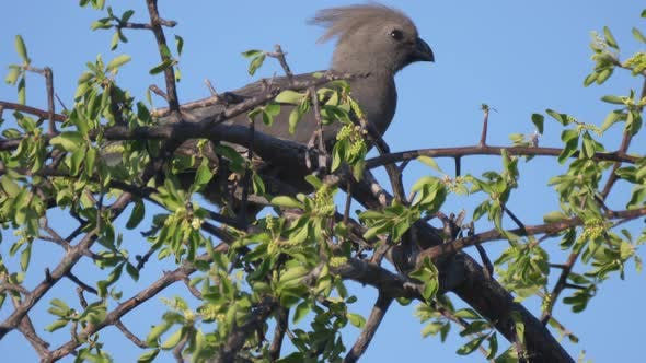 Thumbnail for Grey go-away-bird in a tree at Naye-Naye Concession Area