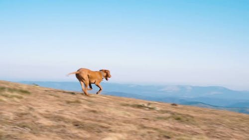 Happy Hungarian Vizsla Dog Running in Mountains in Sunny Day