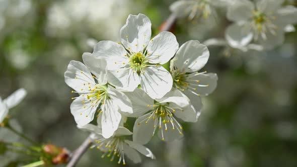 Thumbnail for Frühlingsblühende Kirschen 5