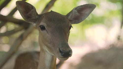 Brown Fawn with Funny Large Ears and Eyes Stands in Forest