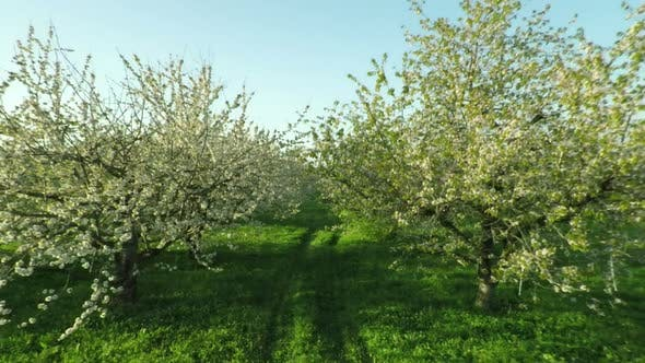 Thumbnail for Aerial View Of Blooming Cherry Garden 25