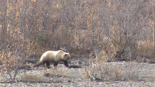 Thumbnail for Grizzly Bear Female Adult Young Family Foraging Looking For Food in Autumn Digging Roots Tubers